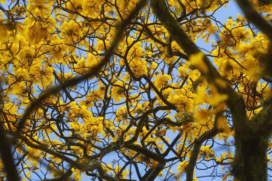 Flora de Paraguaná: El guayacán